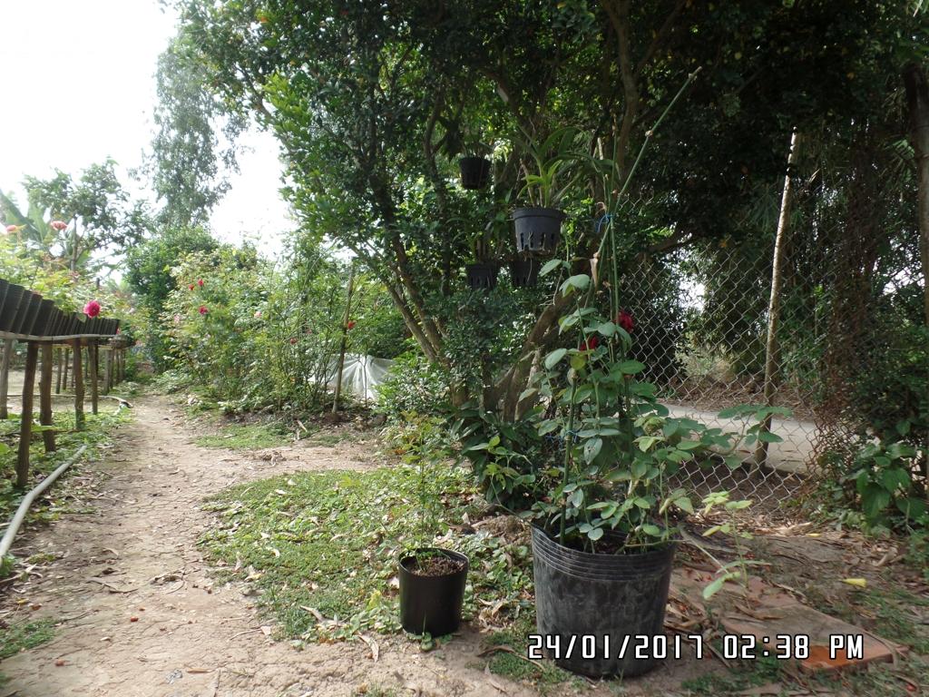 Cuối cùng, đặt cây hoa hồng dạng cây con vừa thay chậu nơi có nắng nhẹ. Ví dụ: dưới tán cây để trong 2-3 ngày trước khi đem ra ngoài nắng