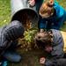 redwood-tree-planting-139