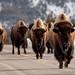 Traffic in Yellowstone by Kim Tashjian