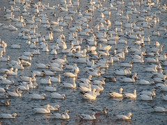 Snow Geese, Middle Creek Wildlife Management Area, Lancaster Co., PA 2/15/2017