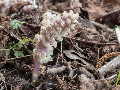 Toothwort | by johndal