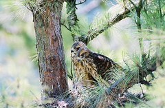 animal, hawk, fauna, ruffed grouse, bird, wildlife,