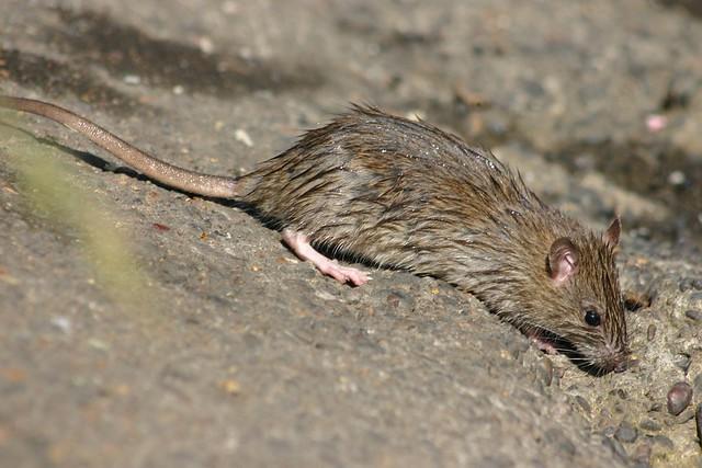 Våt mus