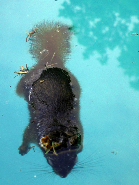 dead squirrel in pool - photo #4