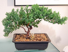 branch, tree, sageretia theezans, houseplant, produce, bonsai,