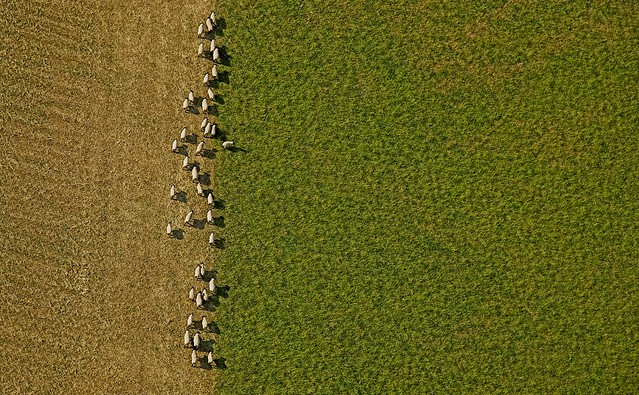 sheep from the sky