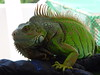"<a href=""http://www.flickr.com/photos/wozes/190637217/"">Photo of Iguana iguana by -Cy-</a>"