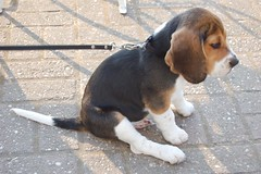 basset hound(0.0), puppy(0.0), basset artã©sien normand(0.0), dog breed(1.0), animal(1.0), hound(1.0), harrier(1.0), dog(1.0), treeing walker coonhound(1.0), english foxhound(1.0), american foxhound(1.0), pet(1.0), pocket beagle(1.0), finnish hound(1.0), hamiltonstã¶vare(1.0), estonian hound(1.0), beagle-harrier(1.0), drever(1.0), serbian tricolour hound(1.0), carnivoran(1.0), beagle(1.0),