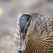 Small photo of Quack!