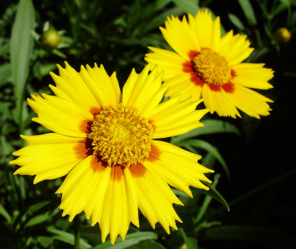 Yellow Perennial Flowers My Hearts Mission