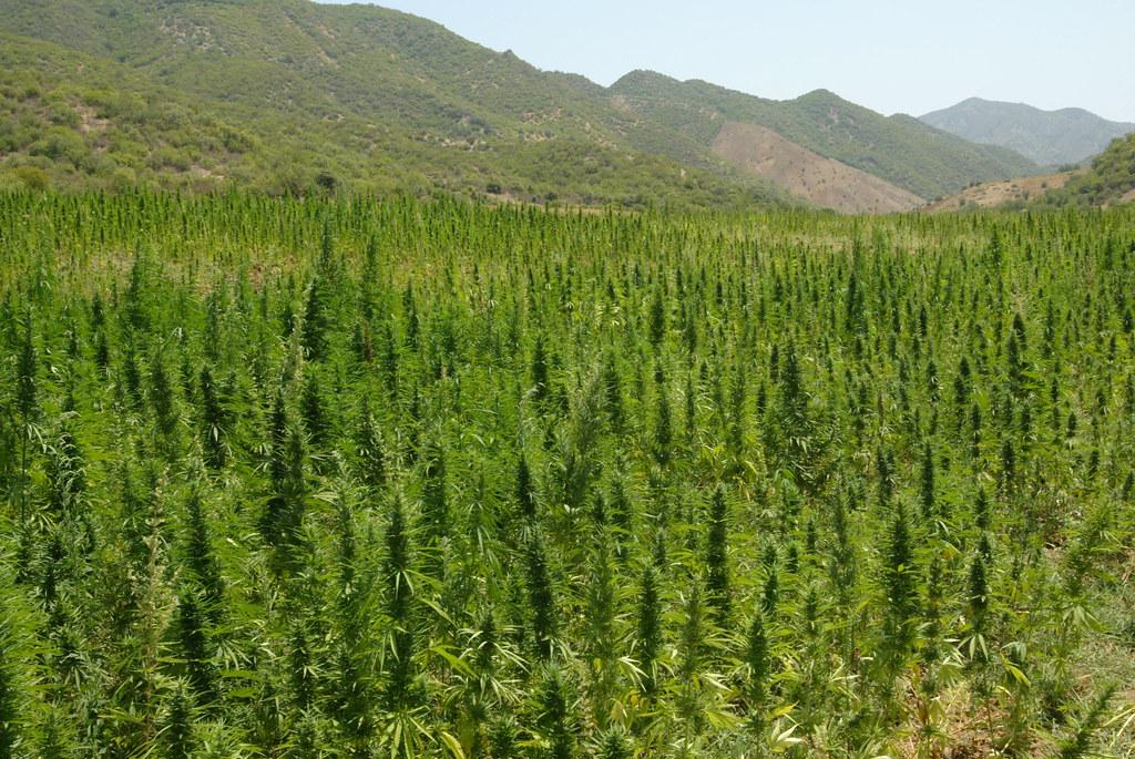 Champs de cannabis dans les montagnes du Rif au Maroc - Photo de Rogelio A. Galaviz C.