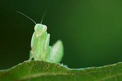 animal, cricket-like insect, leaf, nature, invertebrate, macro photography, mantis, grasshopper, green, fauna, close-up,