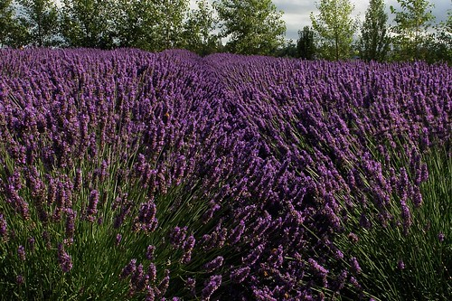 The color purple---lavender
