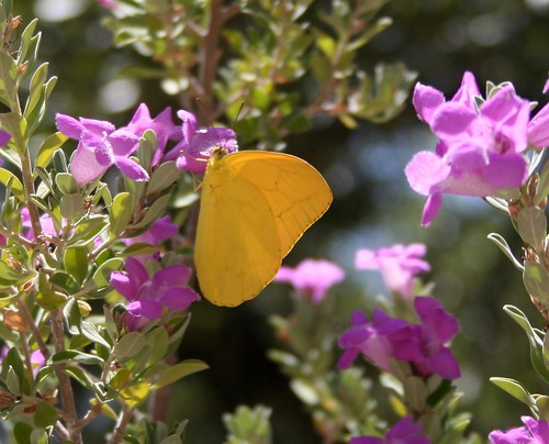 Buttercup butterfly on sagebrush