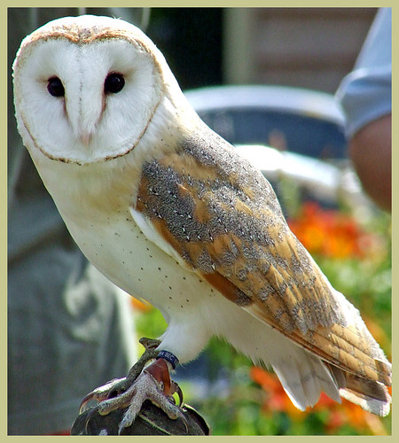 Genus Tyto · iNaturalist.org