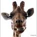 Giraffe: Keeping An Eye On You by Durotriges