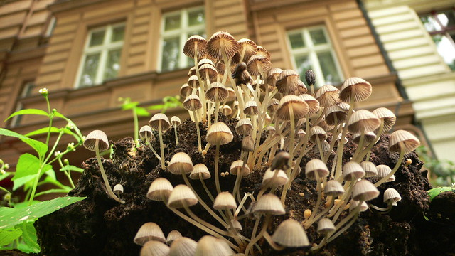 pilze mushrooms champignons callampa schwammerl fichtestr 1 10967 berlin. Black Bedroom Furniture Sets. Home Design Ideas