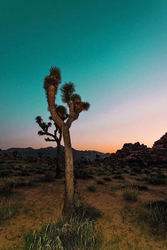 #AmaZINGStevia joshua tree california