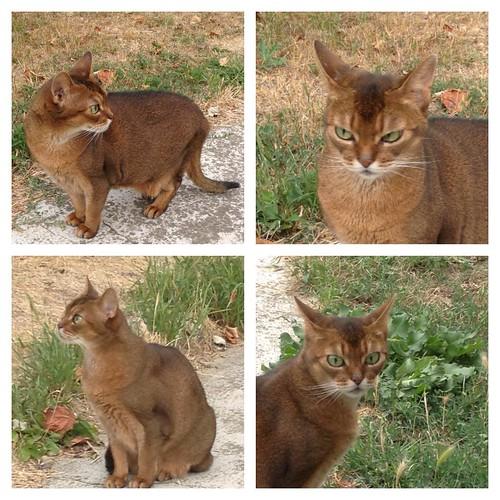 Миуччия увидела, как по дальнему забору прокрался посторонний кот! Непорядок!!! #abyssinian