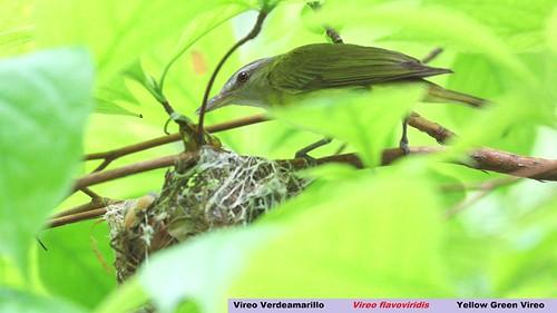 méxico mexico chiapas yellowgreenvireo vireoflavoviridis elchorreadero vireoverdeamarillo