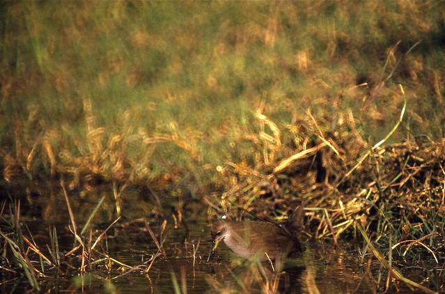 Amaurornis akool