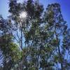 Eucalyptus :thumbsup::sunglasses: #eucalyptus #eucalipto #arvore #serranegra #saopaulo