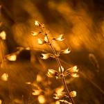 28. Juuli 2015 - 18:50 - In Kroatien geht über mit Salbei bewachsenen Hügeln die Sonne unter und lässt die vertrockneten Blüten leuchten... :)  Meastro on Youtube: www.youtube.com/channel/UCz1p_WgQ23DPHjEfXH8mmYQ Meastro on Facebook: www.facebook.com/Meastrop?ref=bookmarks