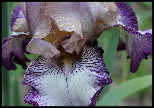 Iris Floorshow (2)