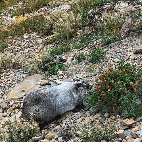 glacier marmot