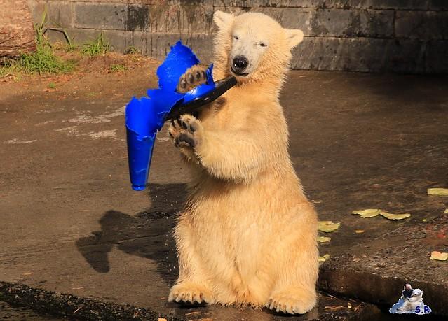 Eisbär Fiete im Zoo Rostock 26.09.2015   0313
