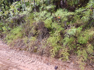 Bank of Tassel Ferns, Gourka Road, Mount Bartle Frere