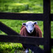 Five Bahh Gate by paulsflicker