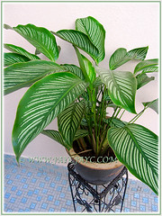 Our potted Calathea elliptica 'Vittata' at the courtyard, Nov 18 2015