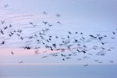 Starling Blurmuration
