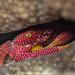 Rust-spotted Guard Crab(trapezia rufopunctata)紅斑梯形蟹 by Allen Lee(houpc)
