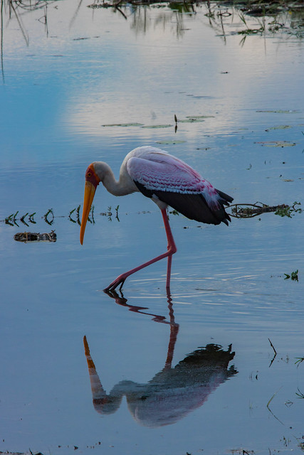 Yellowbilled stork reflections