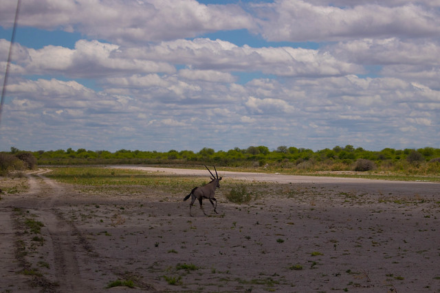 Oryx running across the airstrip
