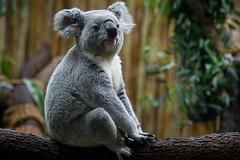 Koala Seated Pose