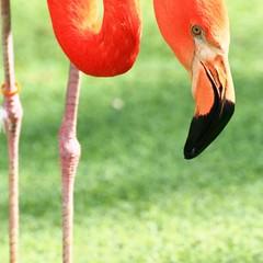 #zoo #curiosity #carribeanflamingo I have my eye on you.