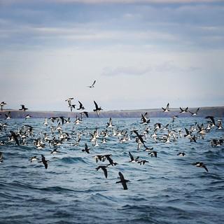 Iemand nog een vogel? #birdwatching #seabirds #manxshearwater #noordsepijlstormvogel #boattrip #skomer #skokholm #eveningcruise #pembrokeshire #visitpembrokeshire #wales #visitwales #visituk #holiday #vacation #zomer2015 #igerspembrokeshire #igerscymru