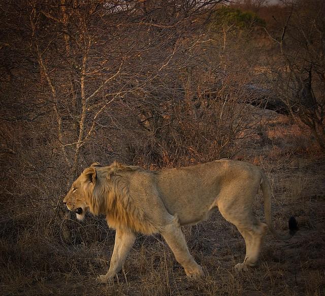 Majestic lions roaming around