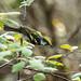 IMG_7260  Chestnut-sided Warbler