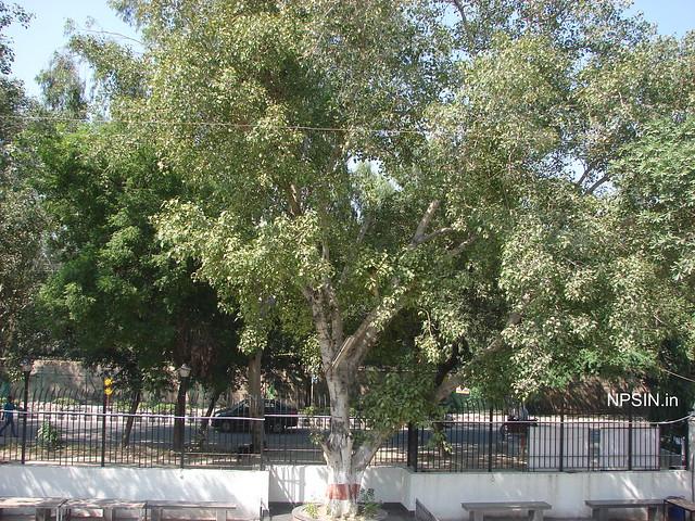 Peepal Tree in Bhagwat Dham