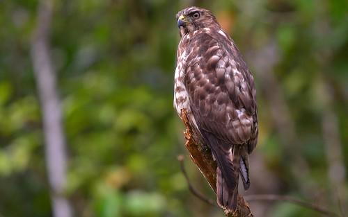 desktop birds animals forest jungle panama centralhighlands featured roadsidehawk santafé santafenationalpark chiriquidistrict