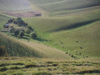 Cows at bottom of Milk Hill