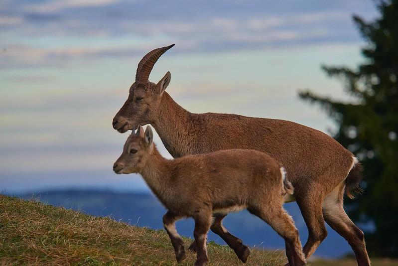 Alpine ibex with kid - Creux du Van