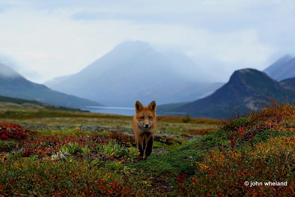 Battle River fox