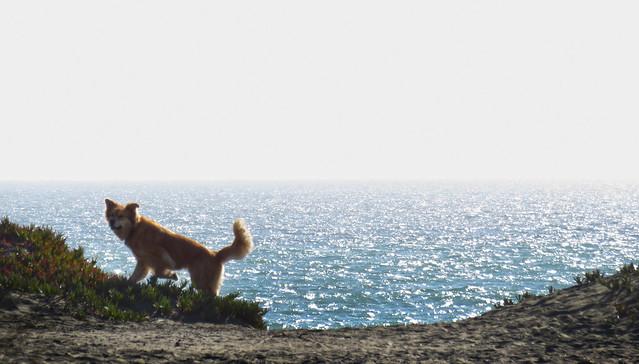 dog on Ocean Beach, San Francisco (2015)