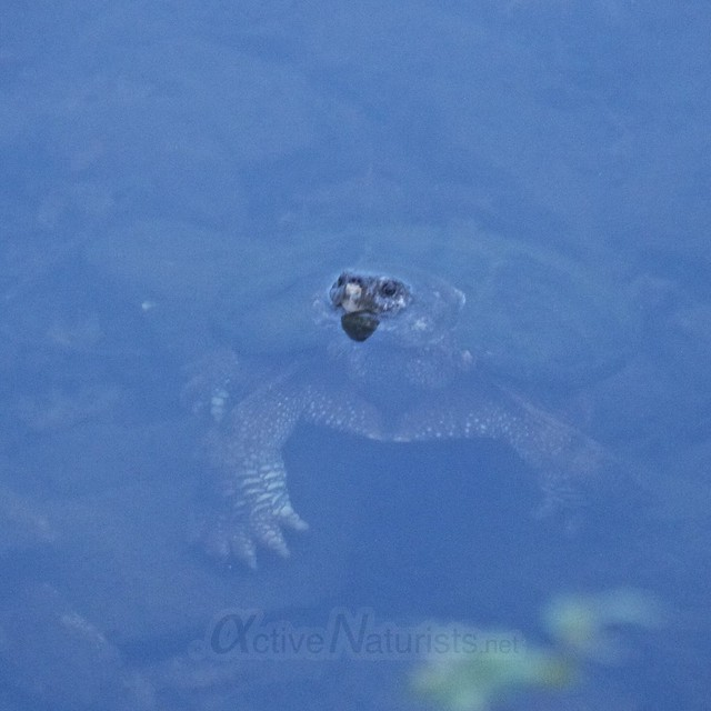 snapping turtle 0000 Harriman State Park, NY, USA