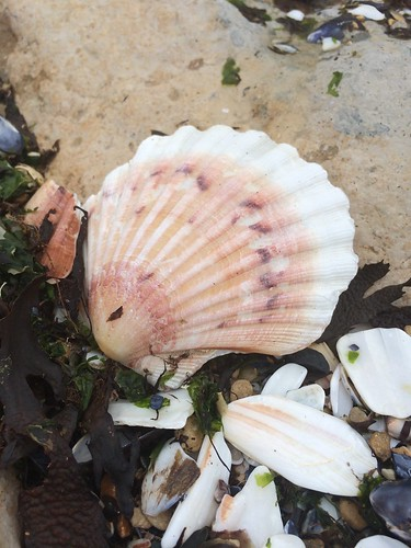 seashell, saint jacques